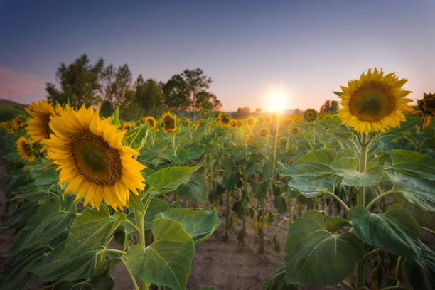 Sunflower field at sunset:スマホ壁紙(壁紙.com)