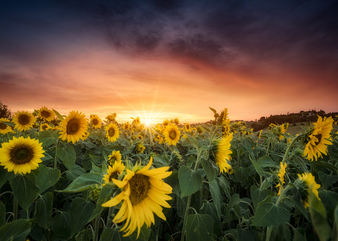 ひまわり「Sunflower field, Siena, Italy」:スマホ壁紙(4)