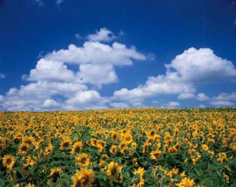 ひまわり「Sunflower field. Biei-machi, Hokkaido, Japan」:スマホ壁紙(9)