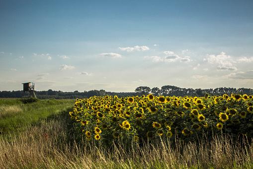 ひまわり「Sunflower field and raised hide」:スマホ壁紙(12)