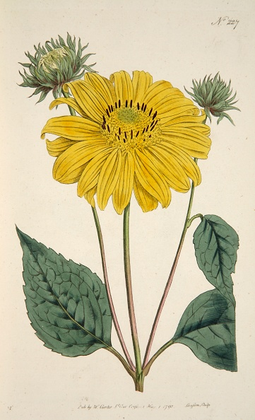 Engraving「Sunflower」:写真・画像(19)[壁紙.com]
