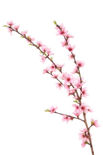 Peach「モモの花のブランチ」:スマホ壁紙(17)