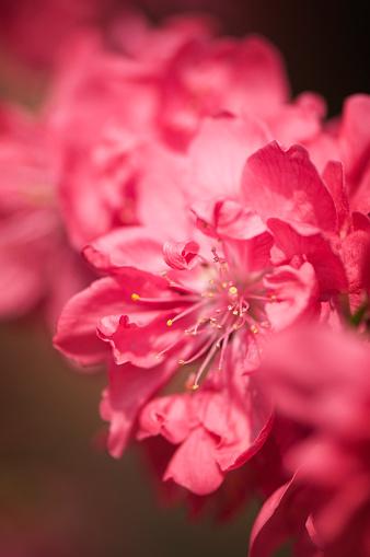 Peach「Peach Blossom」:スマホ壁紙(0)
