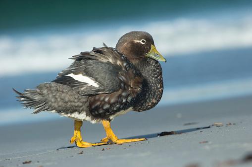 Falkland Islands「Falkland Flightless Steamer Duck」:スマホ壁紙(1)