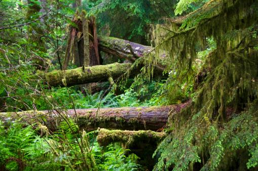 Fallen Tree「Macmillan Provincial Park」:スマホ壁紙(18)