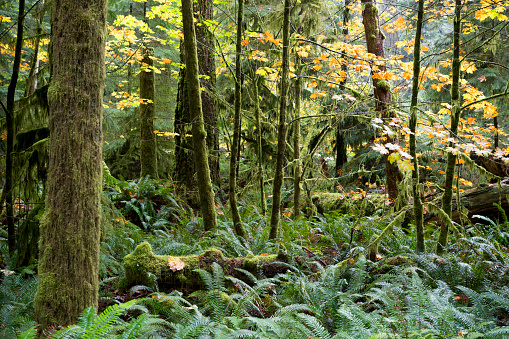 Old Growth Forest「MacMillan Provincial Park Cathedral Grove Vancouver Island」:スマホ壁紙(13)