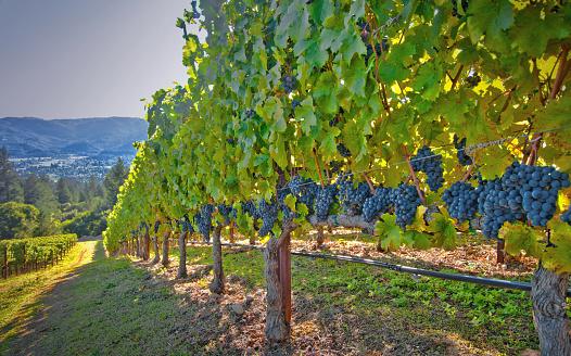 Close To「Vineyard near St. Helena, California」:スマホ壁紙(10)