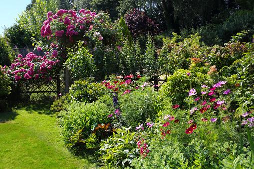 コスモス「Rosa American Pillar & cosmos flowers in garden.」:スマホ壁紙(18)