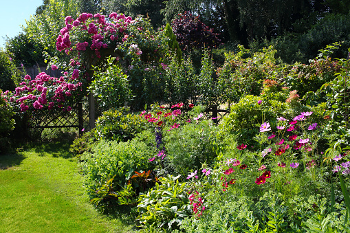 Botanical Garden「Rosa American Pillar & cosmos flowers in garden.」:スマホ壁紙(18)