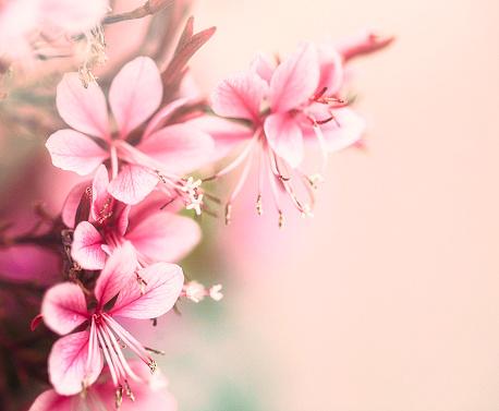 Peach「ピンク ギャラボベーロ花満開。花の浸漬」:スマホ壁紙(13)