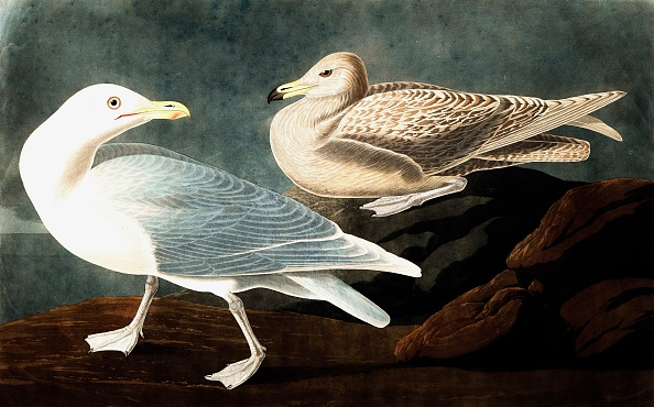 Beak「Burgomaster Gull」:写真・画像(13)[壁紙.com]