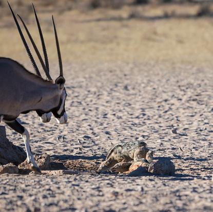 Defending「Black-backed jackal defend their water place against gemsbok, Auob Wadi, Kgalagadi Transfrontier Park, South Africa」:スマホ壁紙(8)
