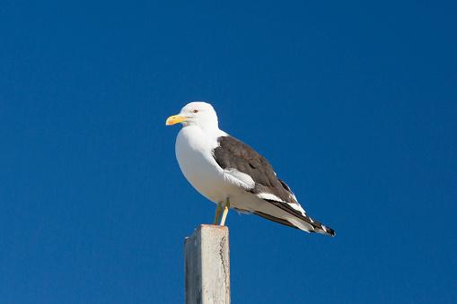 Seagull「Black-backed gull (Larus dominicanus), Kaikoura」:スマホ壁紙(3)