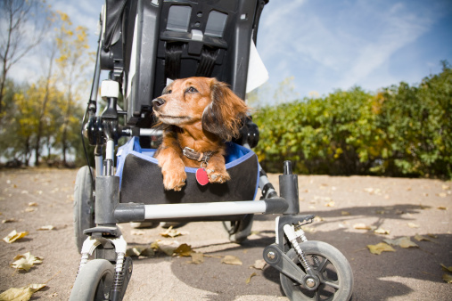 Baby Carriage「USA, Colorado, dog sitting in cart」:スマホ壁紙(18)