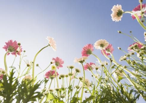 花「Transvaal Daisy and Marguerite」:スマホ壁紙(12)