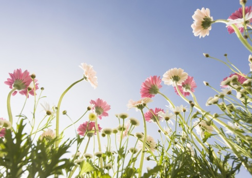 flower「Transvaal Daisy and Marguerite」:スマホ壁紙(7)