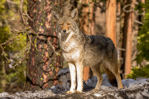 National Park「Coyote (Canis latrans) Looks forward in Yosemite, California」:スマホ壁紙(13)