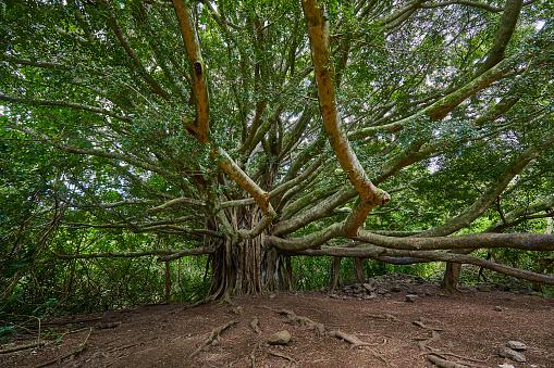 State Park「Large Banyan Tree on walking path,Kipahulu Visitor Centre,Maui,Hawaii,USA」:スマホ壁紙(6)