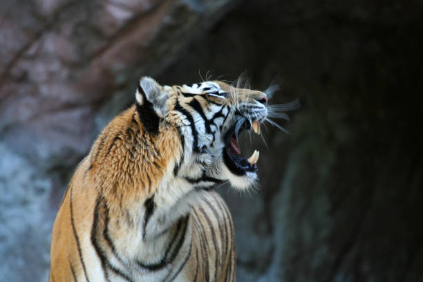 Roaring tiger with motion blur 2:スマホ壁紙(壁紙.com)