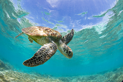 Turtle「Turtle swimming over a coral reef, Great Barrier Reef, Queensland, Australia」:スマホ壁紙(12)
