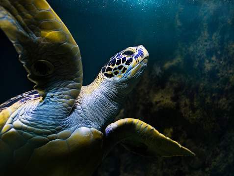 Sea Turtle「turtle swimming underwater」:スマホ壁紙(15)