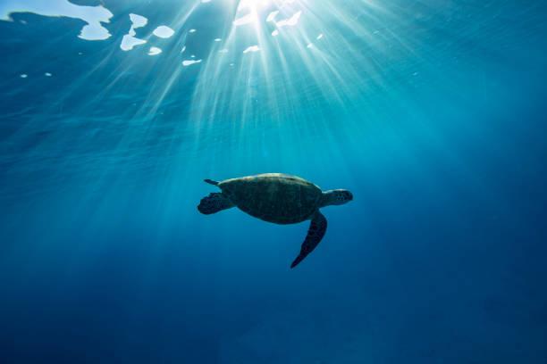 Turtle swimming underwater, Lady Elliot Island, Great Barrier Reef, Queensland, Australia:スマホ壁紙(壁紙.com)
