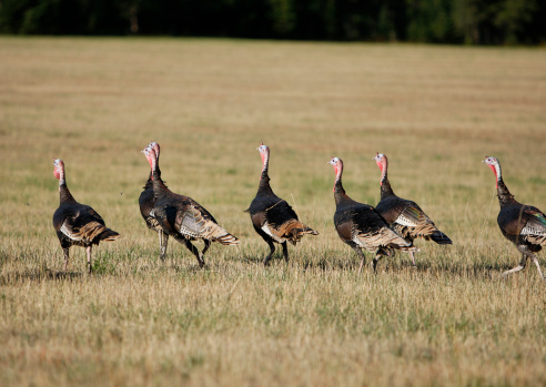 Animals Hunting「Flock of Wild Turkey」:スマホ壁紙(8)