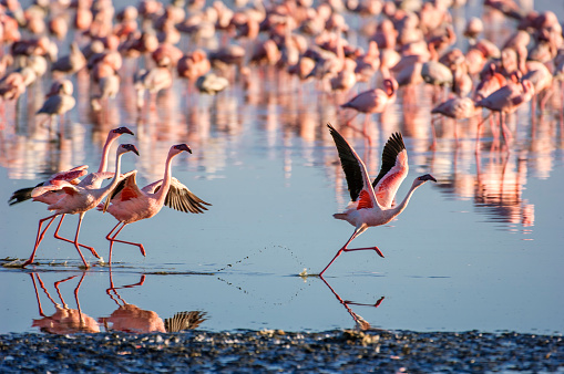 Beak「Flock of Wild Lesser Flamingos On Lake Nakuru」:スマホ壁紙(16)