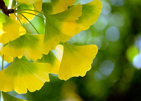 Frond「Back lit Close-up of Ginkgo Biloba leaves (XL)」:スマホ壁紙(7)