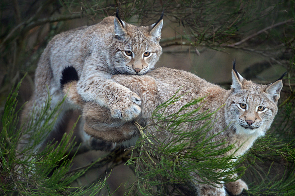 動物「Lynx Cubs At The Highland Wildlife Park Are Fed In Their Enclosure」:写真・画像(4)[壁紙.com]
