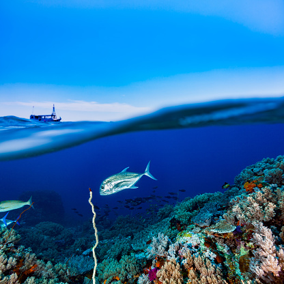 Soft Coral「Reef and Blue Sky, Giant Trevally Caranx ignobilis, Komodo National Park, Indonesia」:スマホ壁紙(10)
