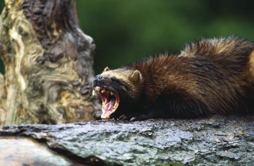 Animals Hunting「Fierce wolverine weasel growling」:スマホ壁紙(5)