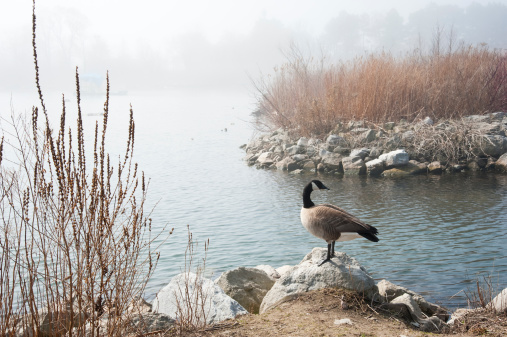 Great Lakes「Canada Goose in the Fog」:スマホ壁紙(9)