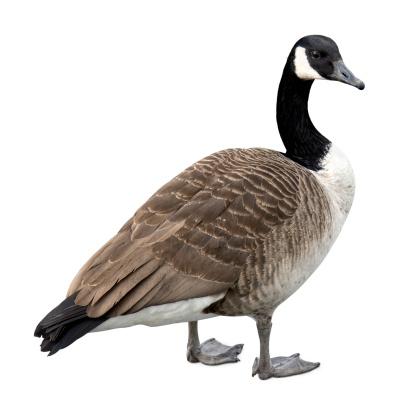 Bird「Canada goose on white」:スマホ壁紙(17)