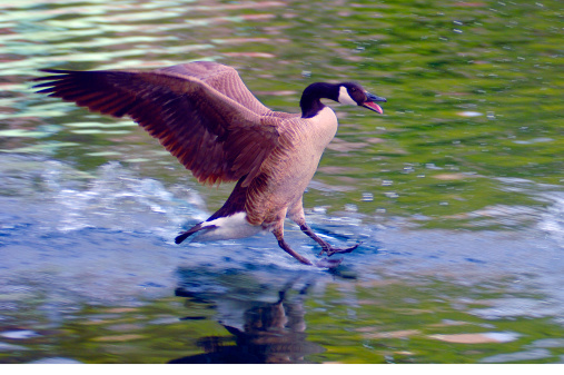 Landing - Touching Down「Canada goose landing on water.」:スマホ壁紙(4)