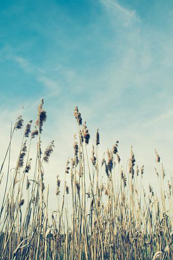 すすき「Plants against blue sky」:スマホ壁紙(19)