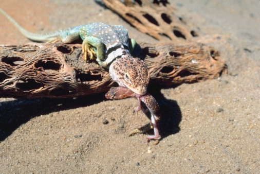 Animals Hunting「Collared lizard eating in desert」:スマホ壁紙(8)