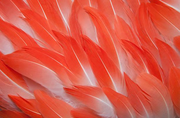 Chilean flamingo feathers:スマホ壁紙(壁紙.com)