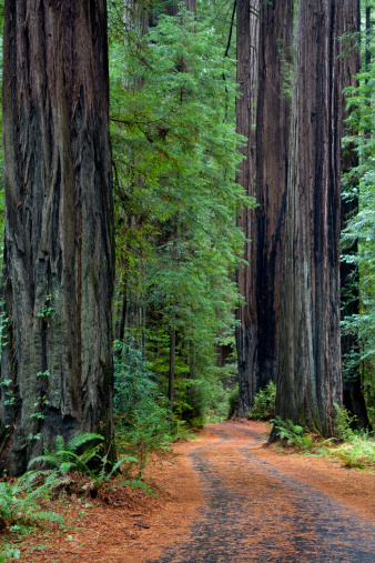 Humboldt Redwoods State Park「Overgrown road in lush forest,  California」:スマホ壁紙(16)