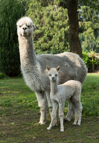 Piedmont - Italy「Female Alpaca with her one month old cub」:スマホ壁紙(0)