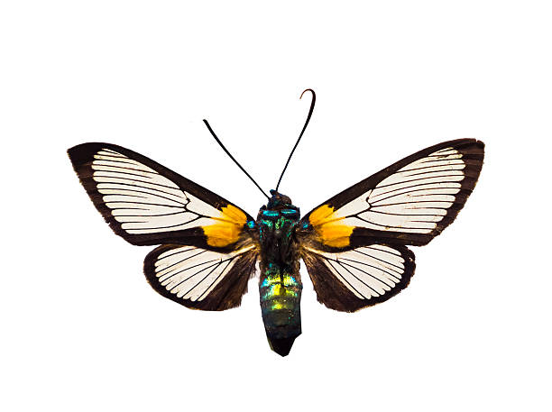 Arctiidae on white ground:スマホ壁紙(壁紙.com)
