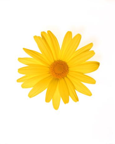 Blossom「Yellow gerber daisy」:スマホ壁紙(10)