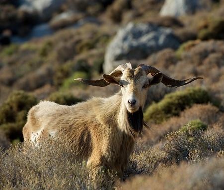 Three Quarter Length「Wild goat standing on a mountain at sunrise, Tilos, Greece」:スマホ壁紙(1)