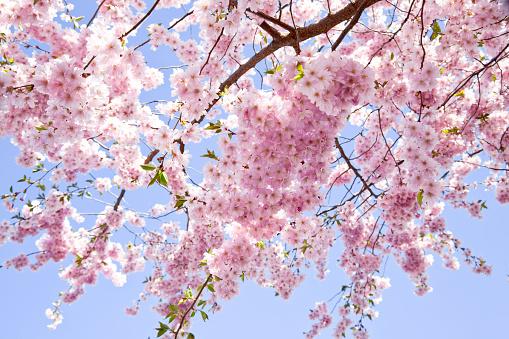 桜「桜ます。自然美、スプリングます。背景ます。」:スマホ壁紙(1)