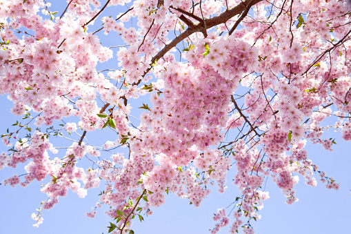 Sakura「桜ます。自然美、スプリングます。背景ます。」:スマホ壁紙(14)