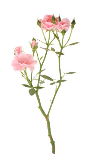 Branch - Plant Part「Branch of pink roses」:スマホ壁紙(3)