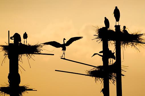 The Nature Conservancy「Great Blues Herons on Nesting Platforms」:スマホ壁紙(7)