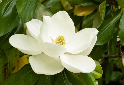 Magnolia「Gentle Magnolia」:スマホ壁紙(4)