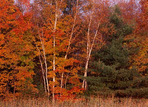 サトウカエデ「Birch and Maple forest」:スマホ壁紙(18)
