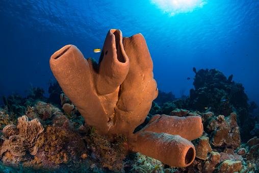 2018「Brown tube sponge (Agelas tubulata)」:スマホ壁紙(6)